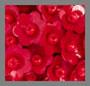 枸杞浆果红