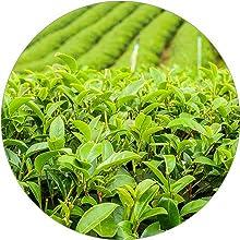 الأخضر بمضادات الاكسدة الشاي