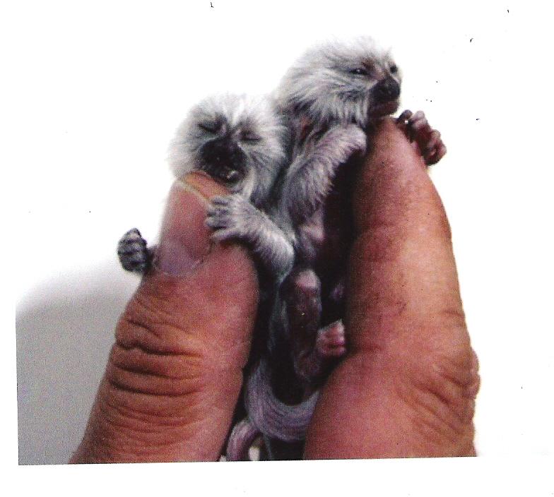 DataLife Engine Версия для печати Маленькие обезьянки.