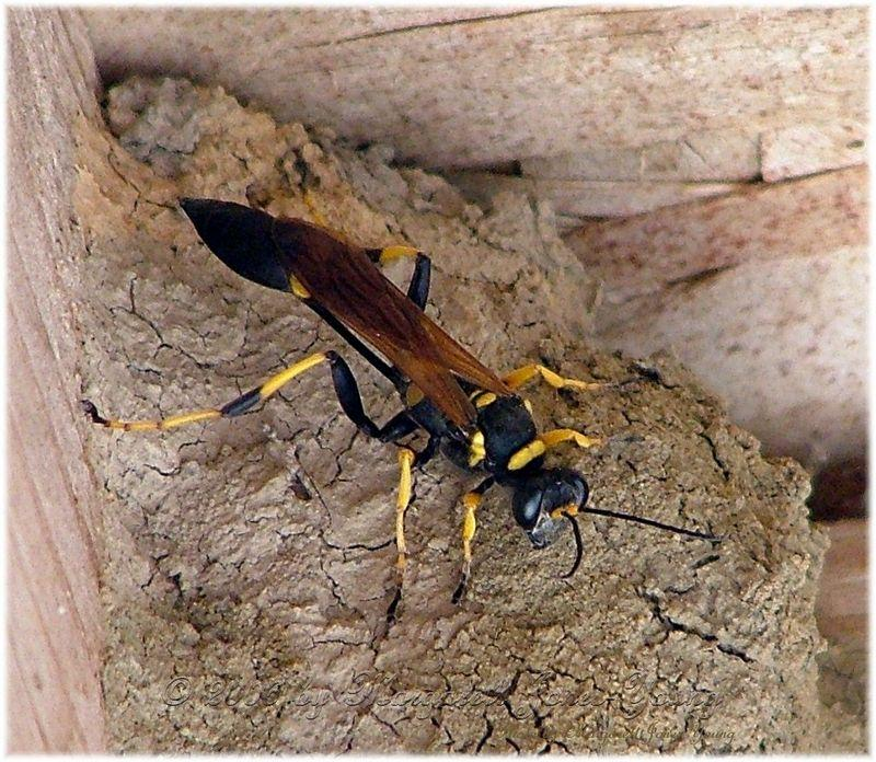 """has anyone ever heard of a """"mud bee""""? I found a stange bee in my yard"""