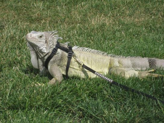 Baby Green Iguana Care