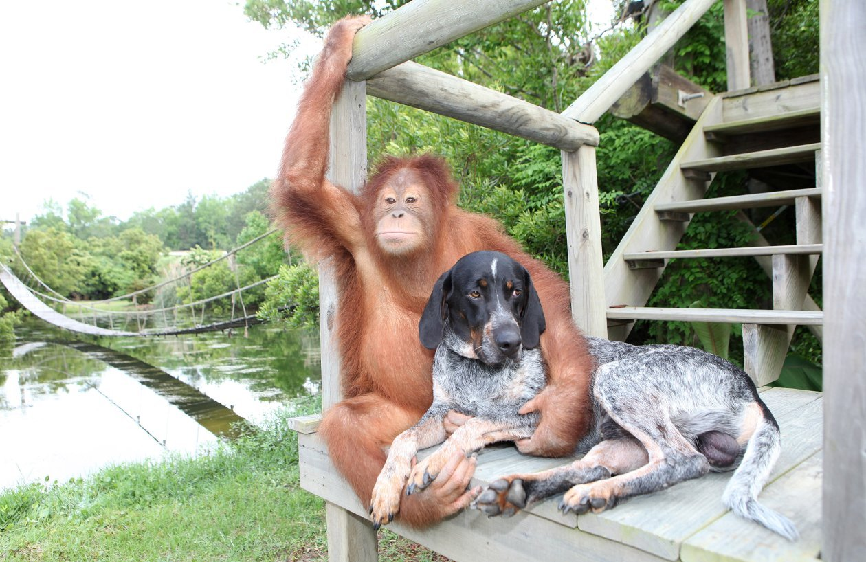 Orangutan And Dog Friends Suryia And Roscoe