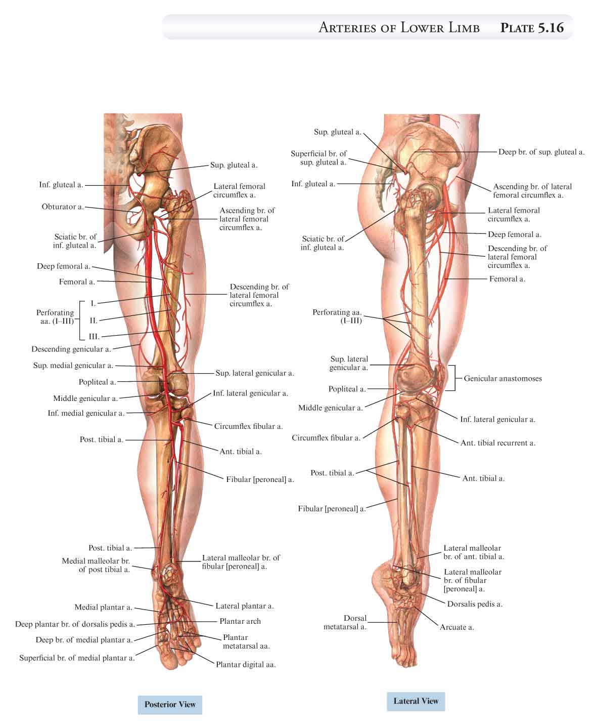 Lower Leg Nerves http://wea-holding.com/images/nerves-lower-leg