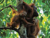 Great Migrations: Orangutans