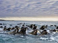 Great Migrations: Walruses