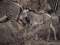 Great Migrations: Zebras