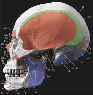 Cranium and Mandible
