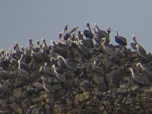 Pelicans on an offshore rock shot at 20X