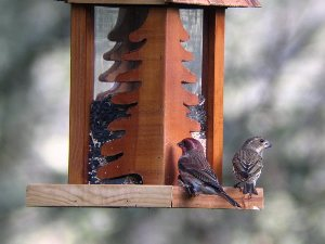 Finches shot at 50X at a distance of 20 yards.