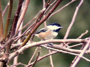 http://g-ecx.images-amazon.com/images/G/01/electronics/Telescope/Celestron/4-Chickadee3._V202921033_.jpg