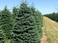 Noble Fir from Great West Christmas Trees