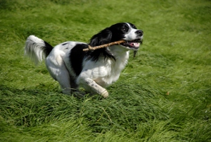 Dog running with stick.