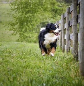 Dog running along fence.