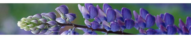 Benefits of Lupine