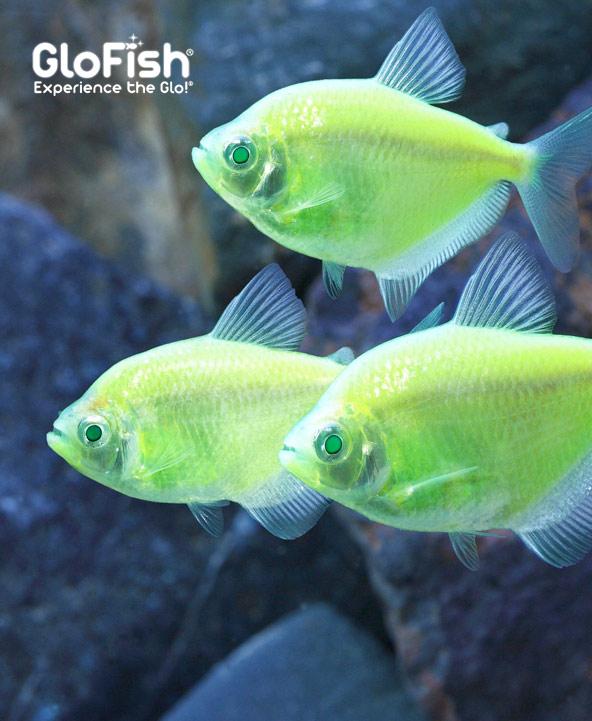 Shop Glo-Fish