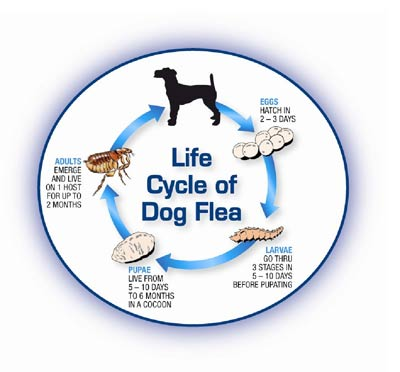 Flea infestation of pets versus the environment