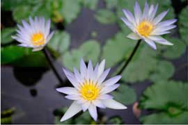 photo of three white flowers with lily pads in background