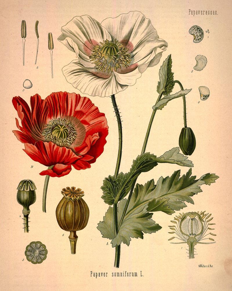 Цветы семейства маковых