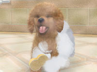 Giving your Toy Poodle a bath in Nintendogs   Cats: Golden Retriever and New Friends