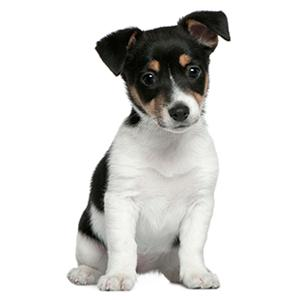 puppy, Jack Russell