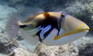 Image is a photograph of a Trigger Fishl, taken with the Scuba HD 1080p Video Mask.