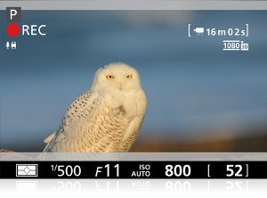 View through the viewfinder showing shooting mode information on display while video recording a Snowy Owl.