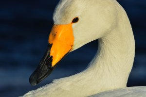 Picture shows a close-up of a swan illustrating the detailed reproduction .
