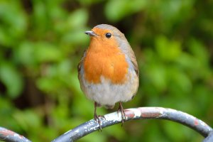 Image of a European Robin sitting on a park railing in sharp focus against a naturally blurred hedge background.
