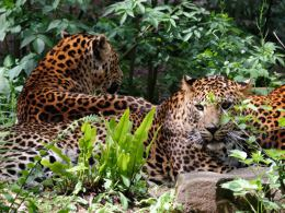 Picture shows three leopards resting amongst vegetation.