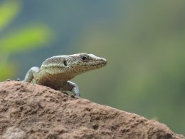 Image of a lizard on a rock.
