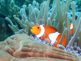 Picture shows Clown Fish hiding inside an anemone.