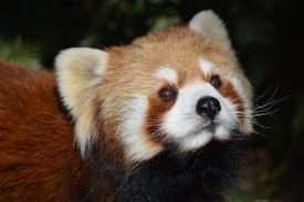 Close-up view of a Red Panda.