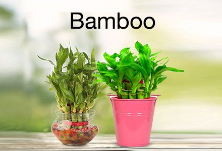 Outdoor Plants Buy Outdoor Plants Online At Best Prices In India Amazon In